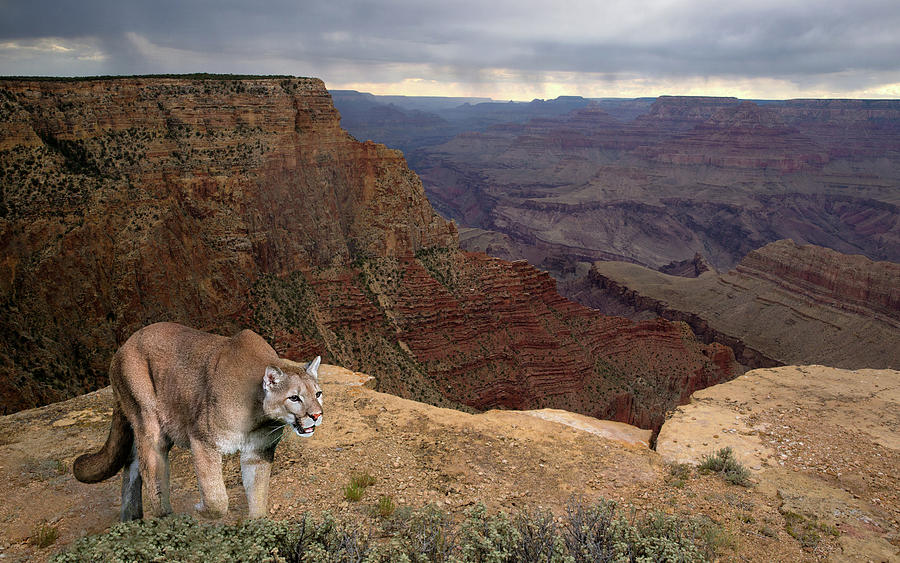 Grand Canyon Prowler by Art Cole