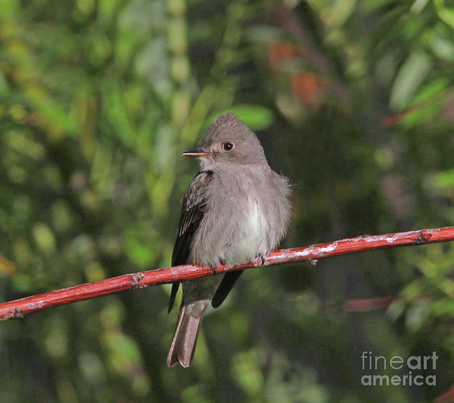 Gray Flycatcher Photograph - Gray Flycatcher by Gary Wing