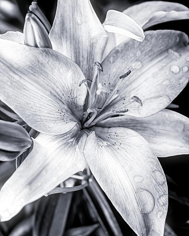 Gray Lily Photograph