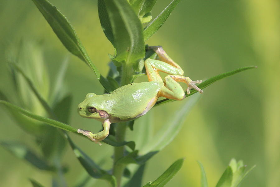 Gray Tree Frog Photograph - Gray Tree Frog Stretching by Callen Harty