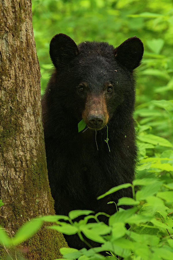 Great Smoky Mountains National Park Photograph - Grazing Black Bear by Melissa Southern