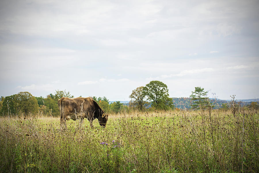 Grazing Cow In The Pasture Photograph