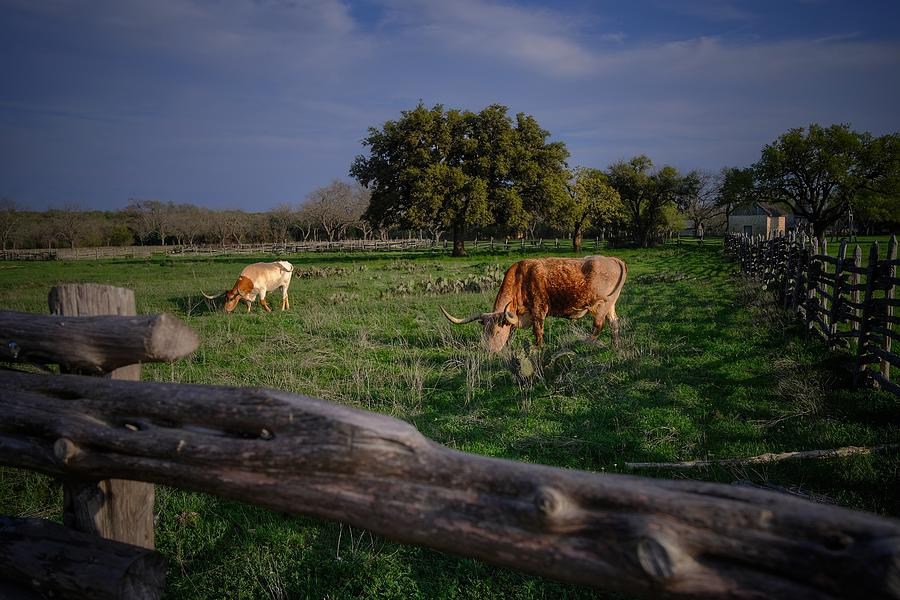 Grazing Longhorns Photograph