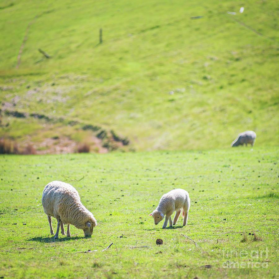 Grazing Sheep Photograph