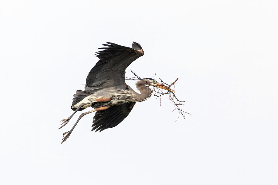 Great Blue Heron 2019-24 by Thomas Young