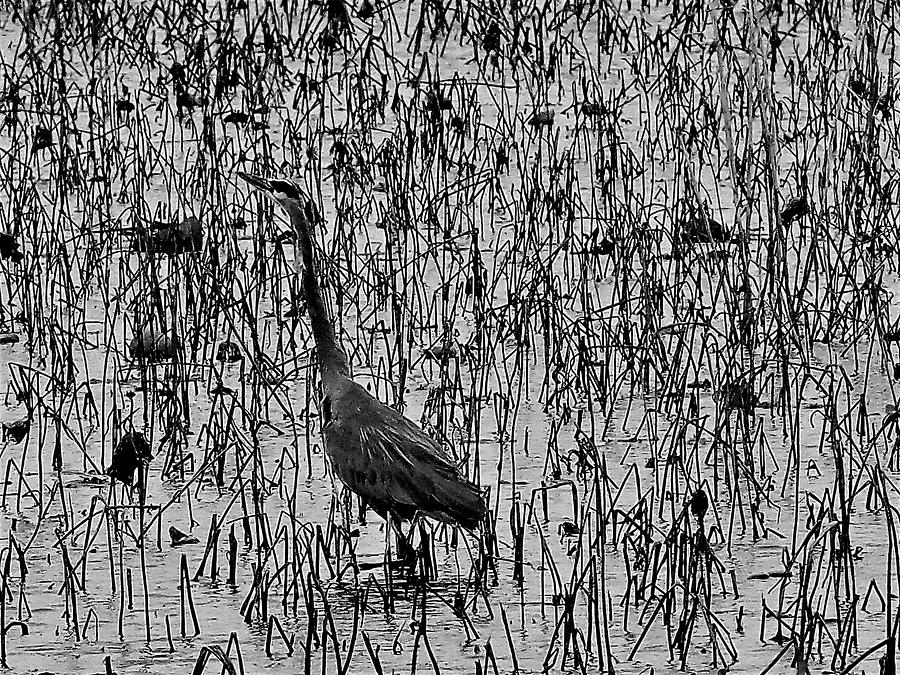 Great Blue Heron Black And White Photograph