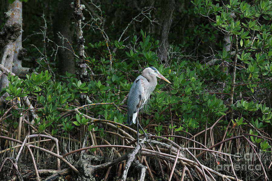 Great Blue Heron Photograph - Great Blue Heron by Felix Lai