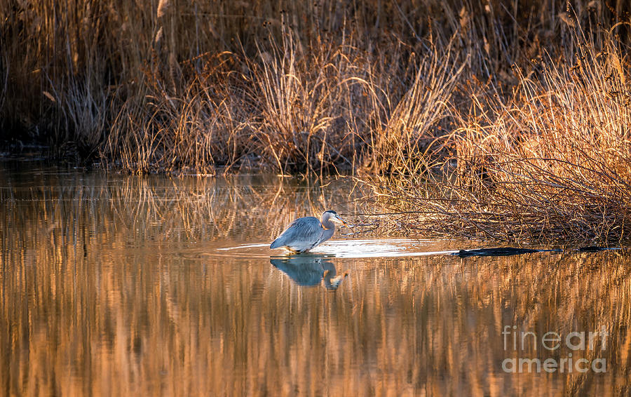 Great Blue Heron Fishing in a Golden Pond on the Chesapeake Bay  by Patrick Wolf