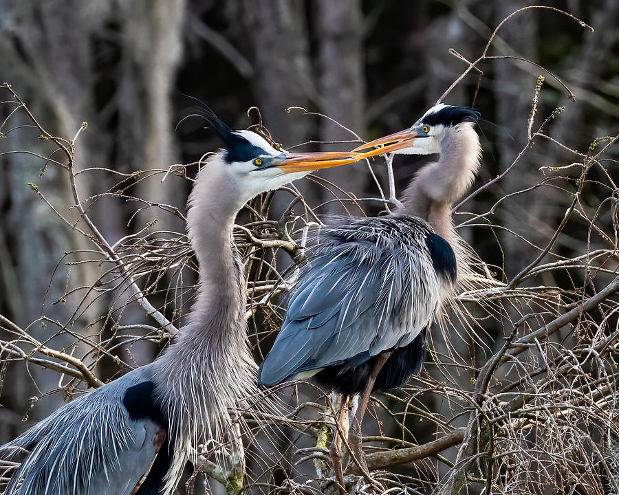 Great Blue Heron Kiss Photograph by Larry Maras