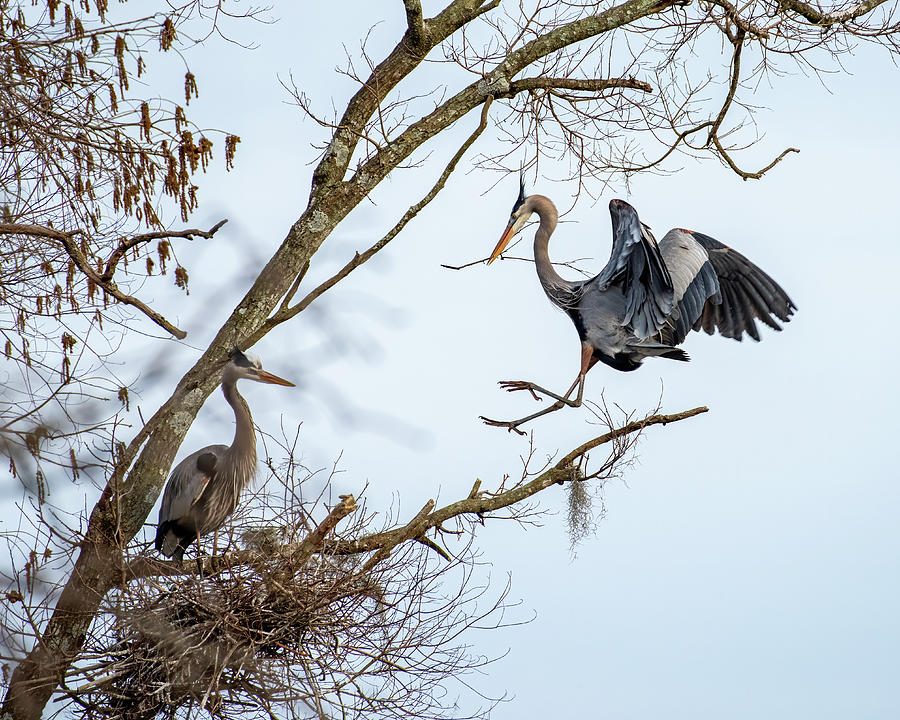 Great Blue Heron Landing With Stick 1 Photograph by Larry Maras
