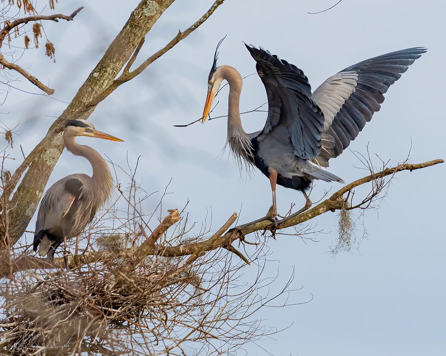 Great Blue Heron Landing With Stick 2 Photograph by Larry Maras