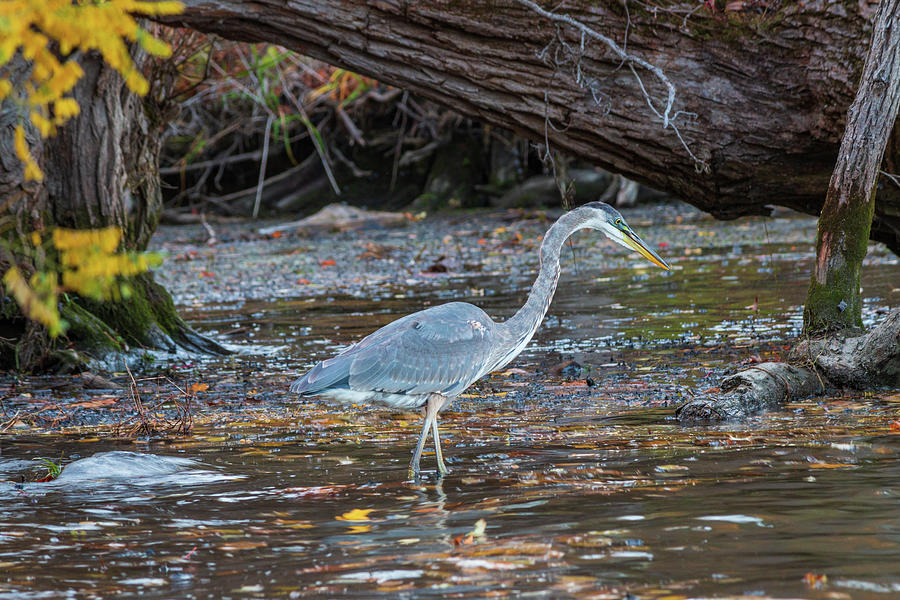 Hudson River Photograph - Great Blue Heron on the Hudson by Jeff Severson