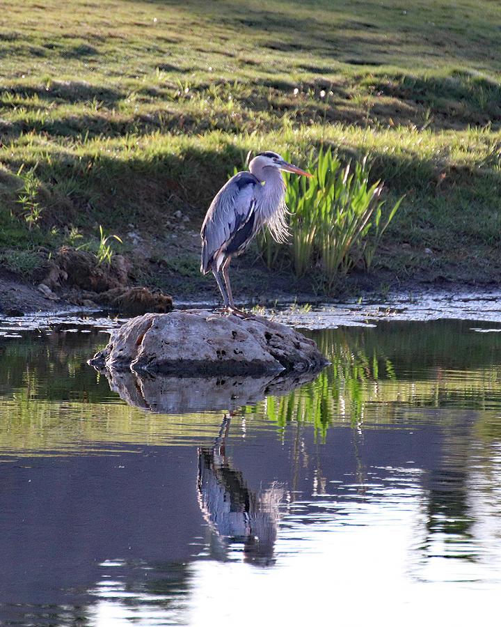 Great Blue Heron Reflection Photograph