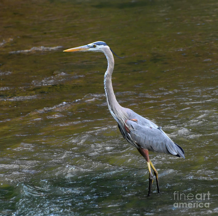 Great Blue Heron Wades The Neuse River Photograph