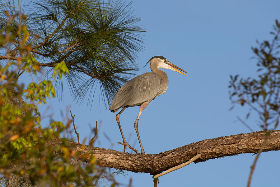 Great blue heron watching from the tree by Zina Stromberg