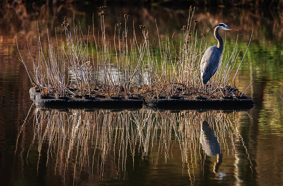 Great Blue Heron, Wild Lake, Columbia, Maryland. Photograph