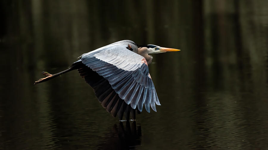 Great Blue Heron Wing Tip Touches Water Photograph by Larry Maras