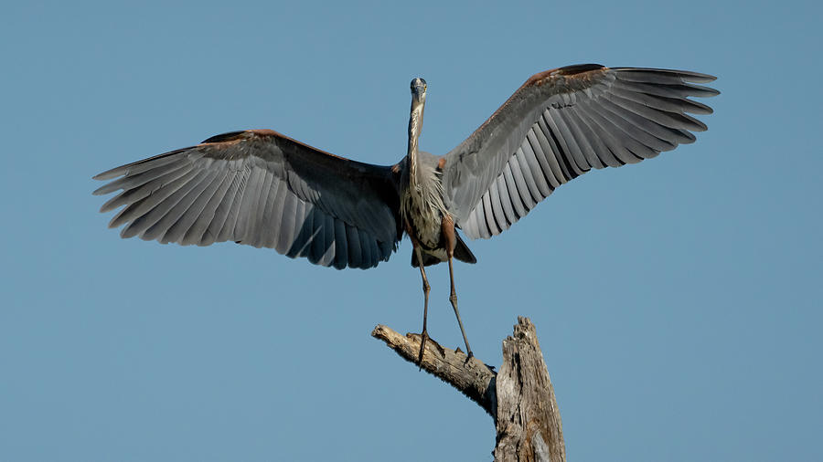 Great Blue Heron With Wings Spread Photograph