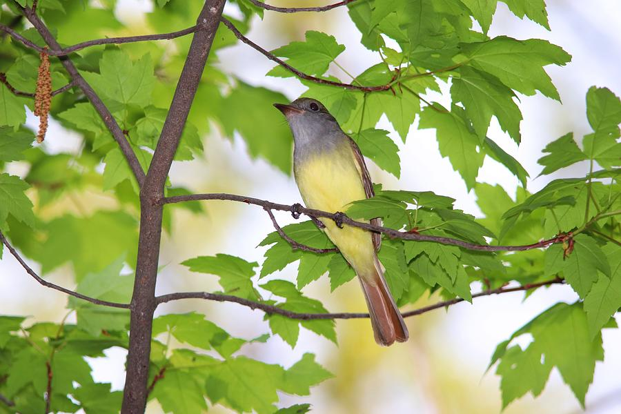 Great Crested Flycatcher In Spring Photograph