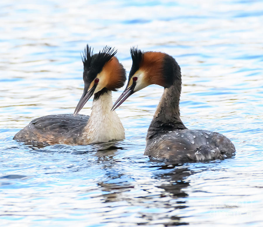 Great Crested Grebes by Colin Rayner