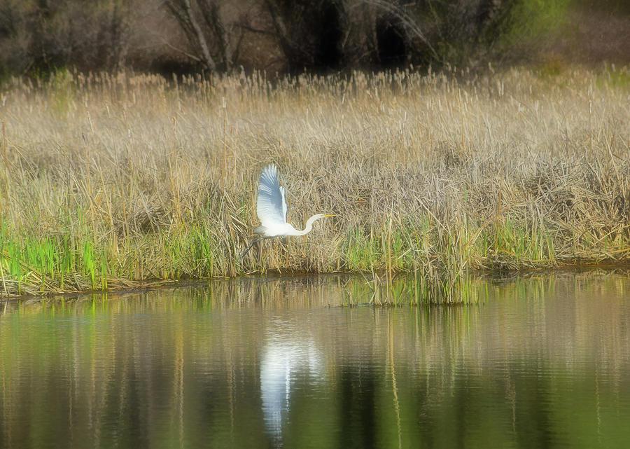Great Egret 4 Photograph
