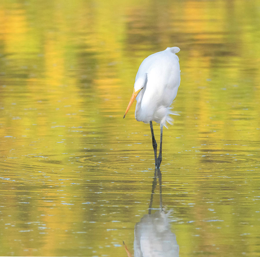 Great Egret 4549-110819-2 by Tam Ryan