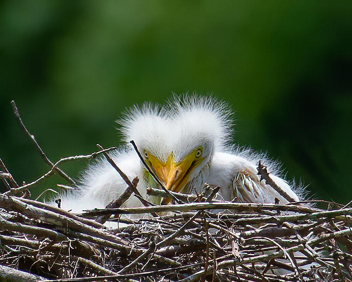 Great Egret Chick Heart Photograph by Larry Maras