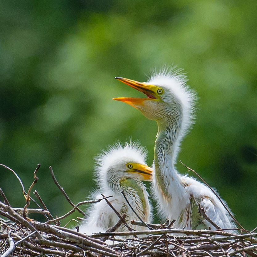 Great Egret Chicks Photograph by Larry Maras