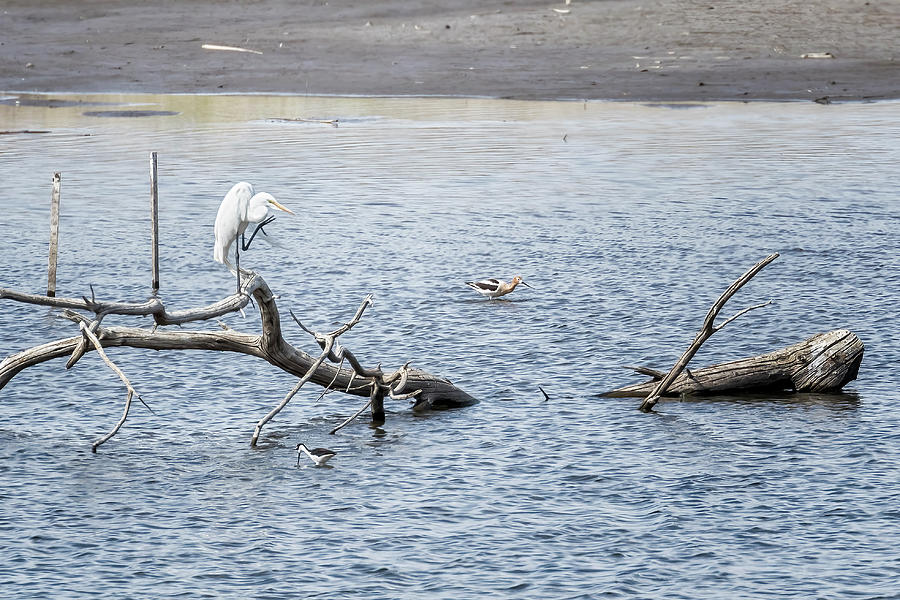 Great Egret On A Log In A Pond With Shorebirds Nearby Photograph