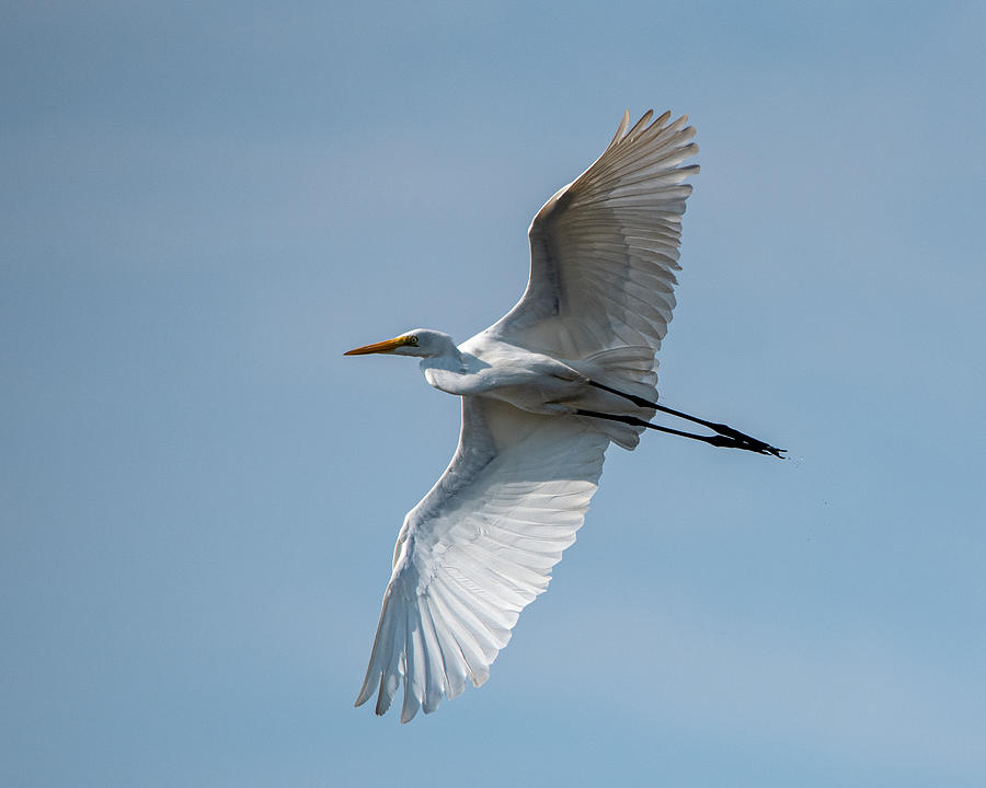 Great Egret Passing By Photograph by Larry Maras