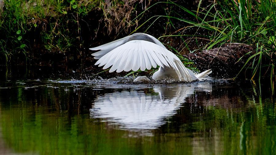 Great Egret Plunge Photograph by Larry Maras