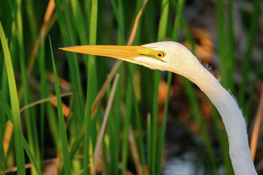 Great Egret Profile Photograph