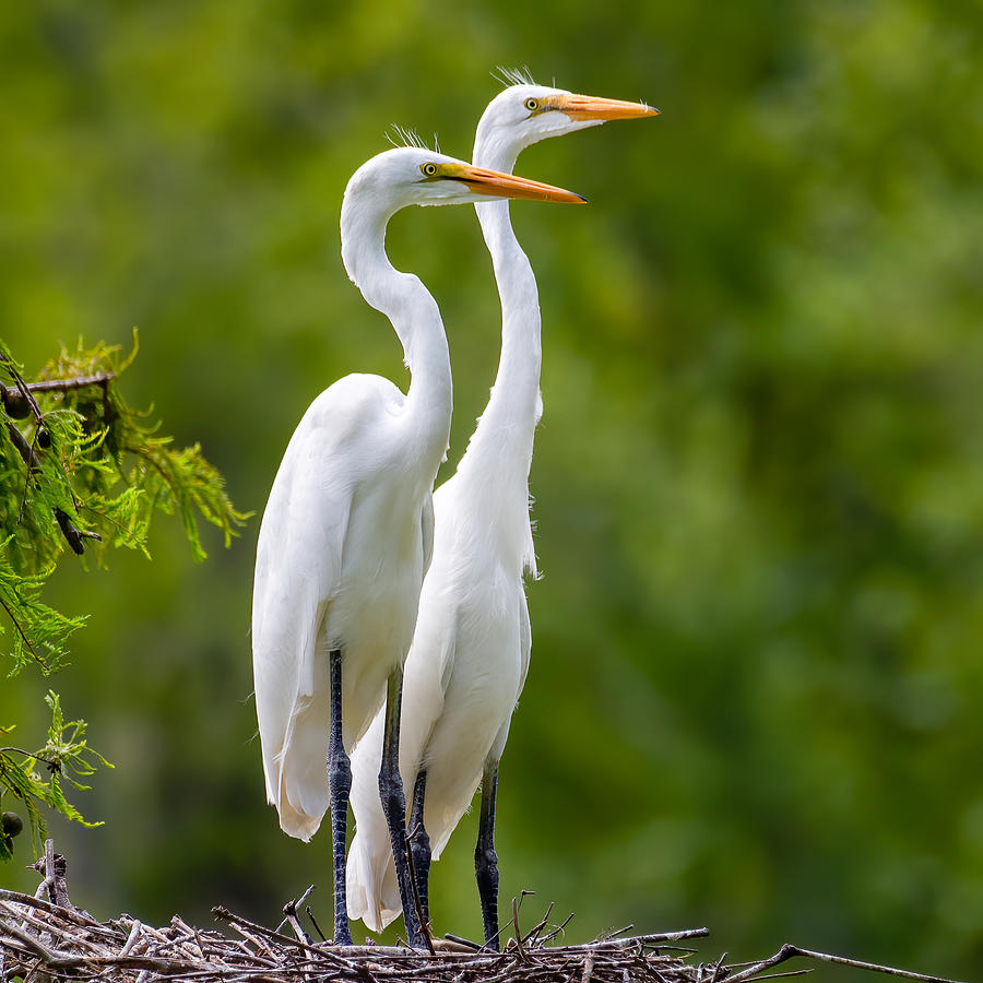 Great Egret Siblings Photograph by Larry Maras