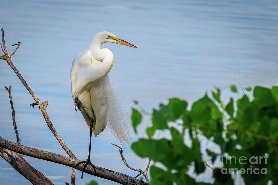 Great Egret Standing On A Branch On The Shore Of La Photograph