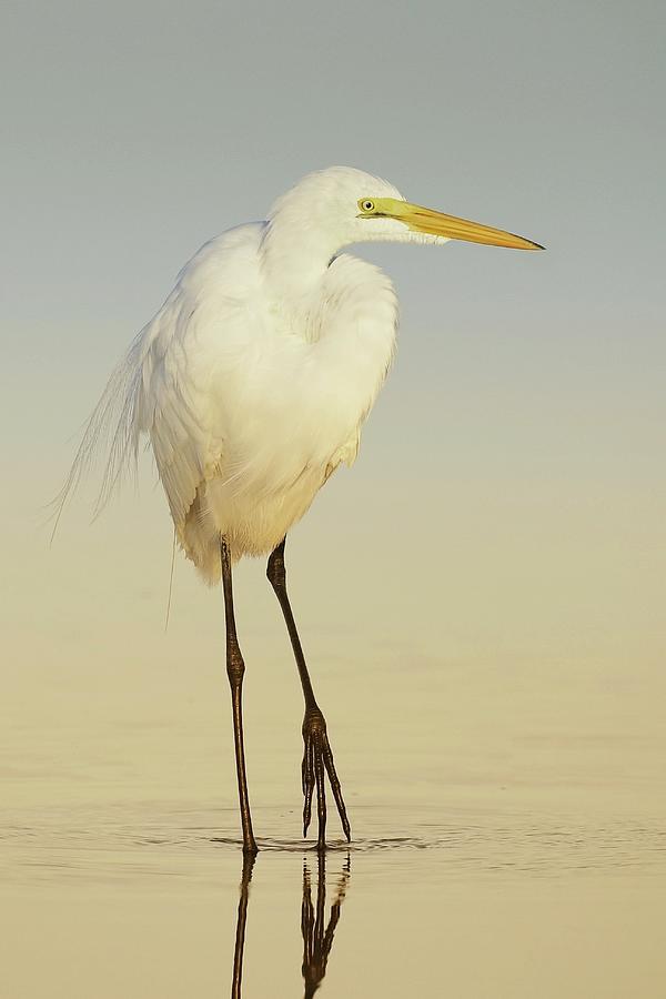 Great Egret Walking At Sunrise Photograph