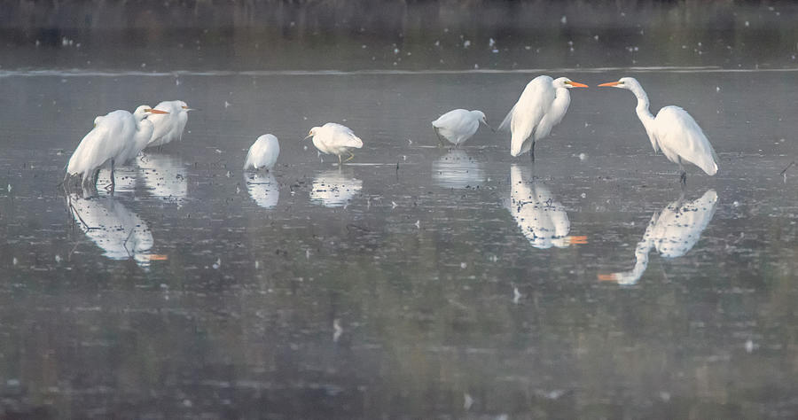 Great Egrets and Snowy Egrets 4428-011420-2 by Tam Ryan