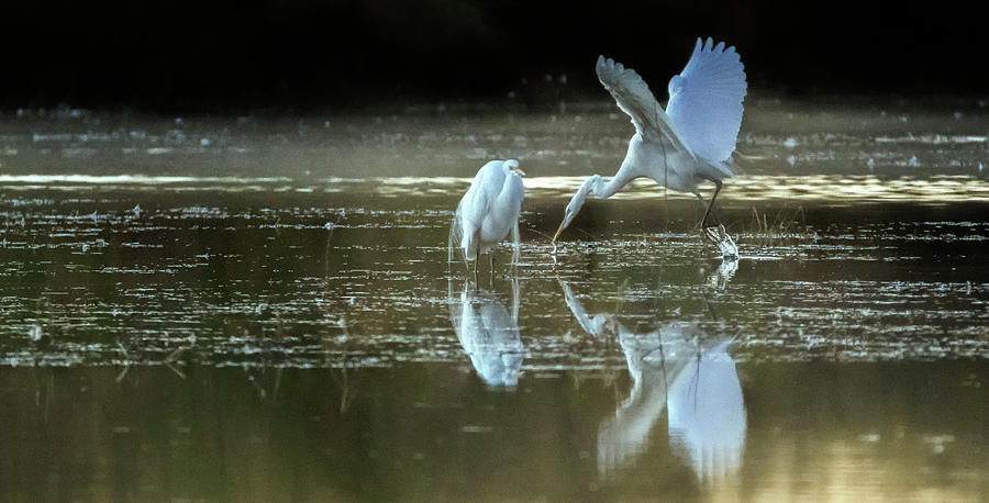 Great Egrets at Dawn 3616-011120-4cr by Tam Ryan