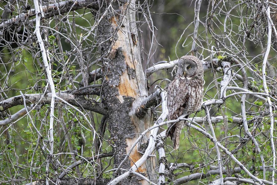 Great Gray Owl 2 by Michael Chatt