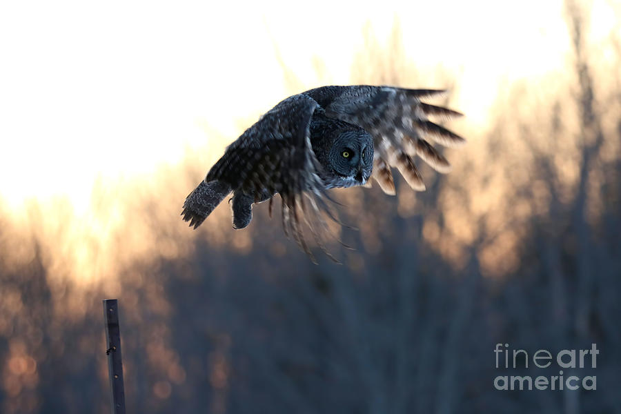 Great Gray Owl Sunset Photograph