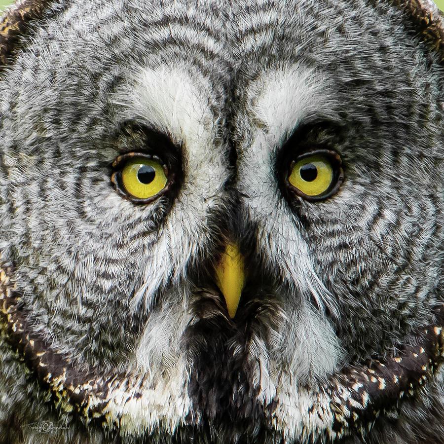 Great Greys Face Photograph