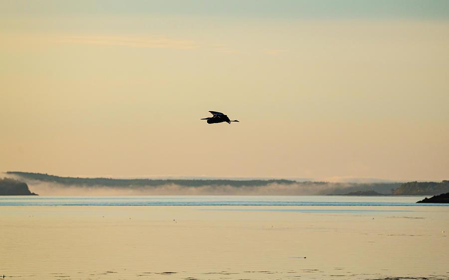 Great Heron Morning Flight Photograph