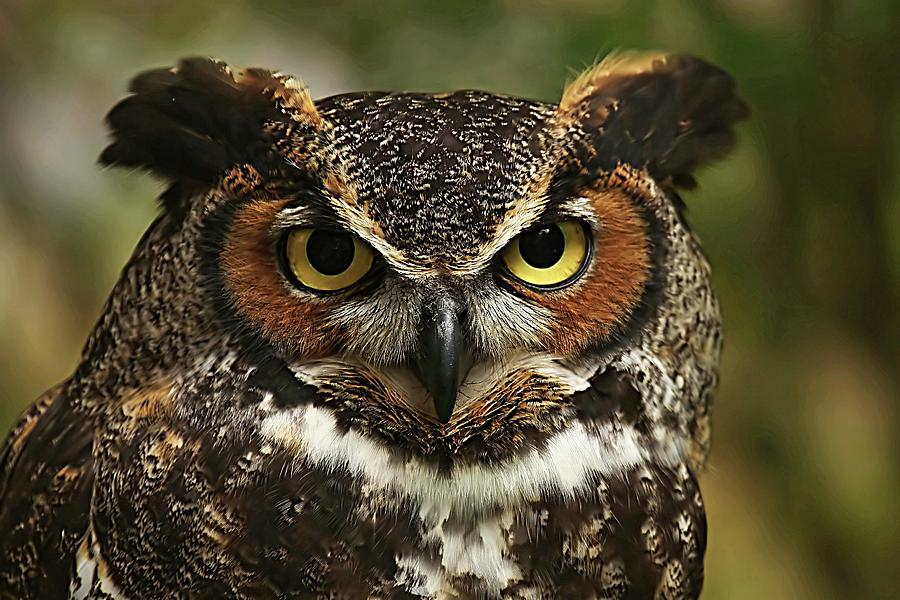 Great Horned Owl Close Up Photograph
