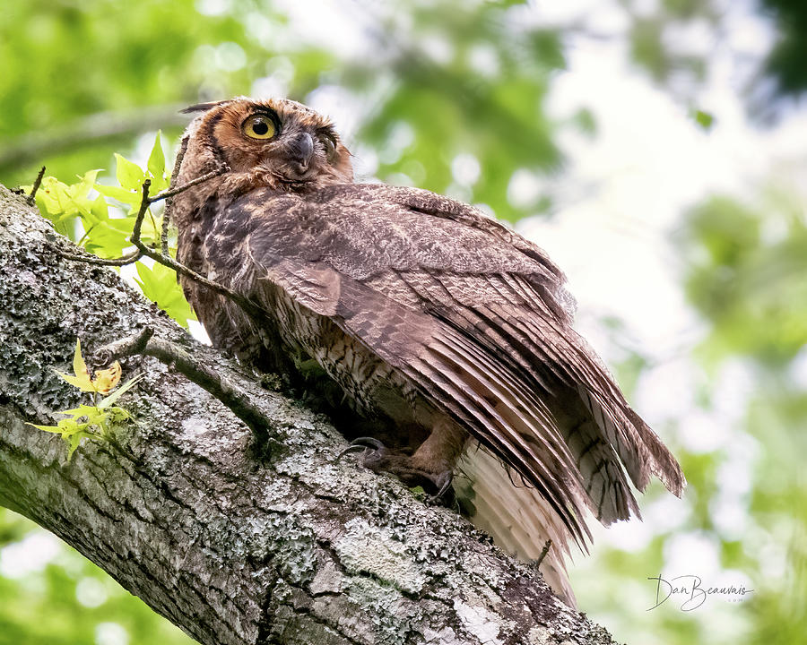 Great Horned Owl Juvenile #1912 Photograph