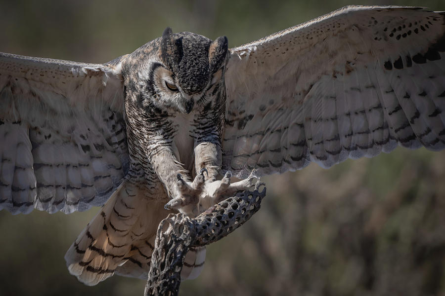 Great Horned Owl landing by Hershey Art Images