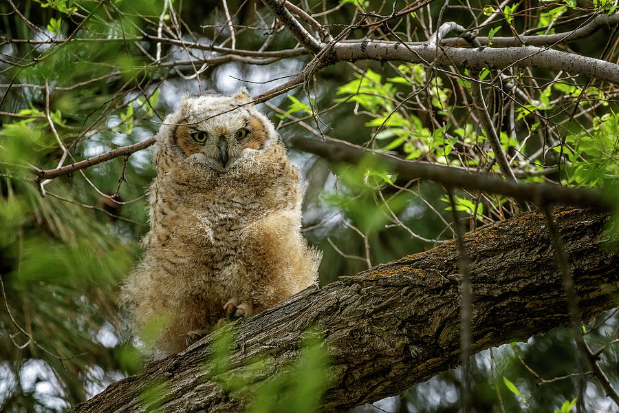 Great Horned Owlet At Malheur Hq Photograph