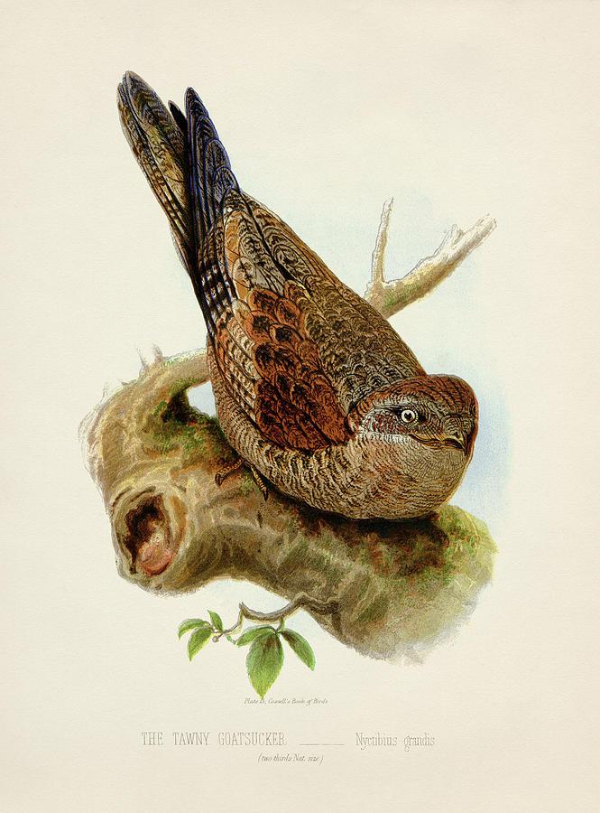 Great Potoo - Nyctibus Grandis Painting