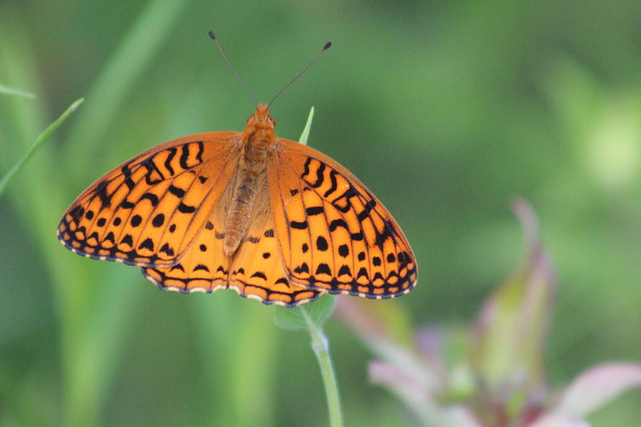 Great Spangled Fritillary Photograph - Great Spangled Fritillary by Callen Harty