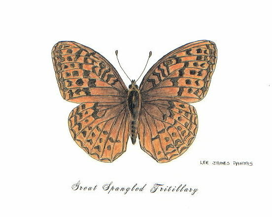 Butterfly Drawing - Great Spangled Fritillary by Lee Pantas