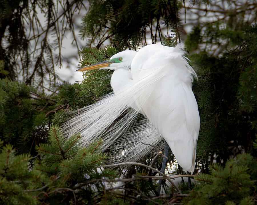 Great White Egret Breeding Plumage #1 by Patti Deters
