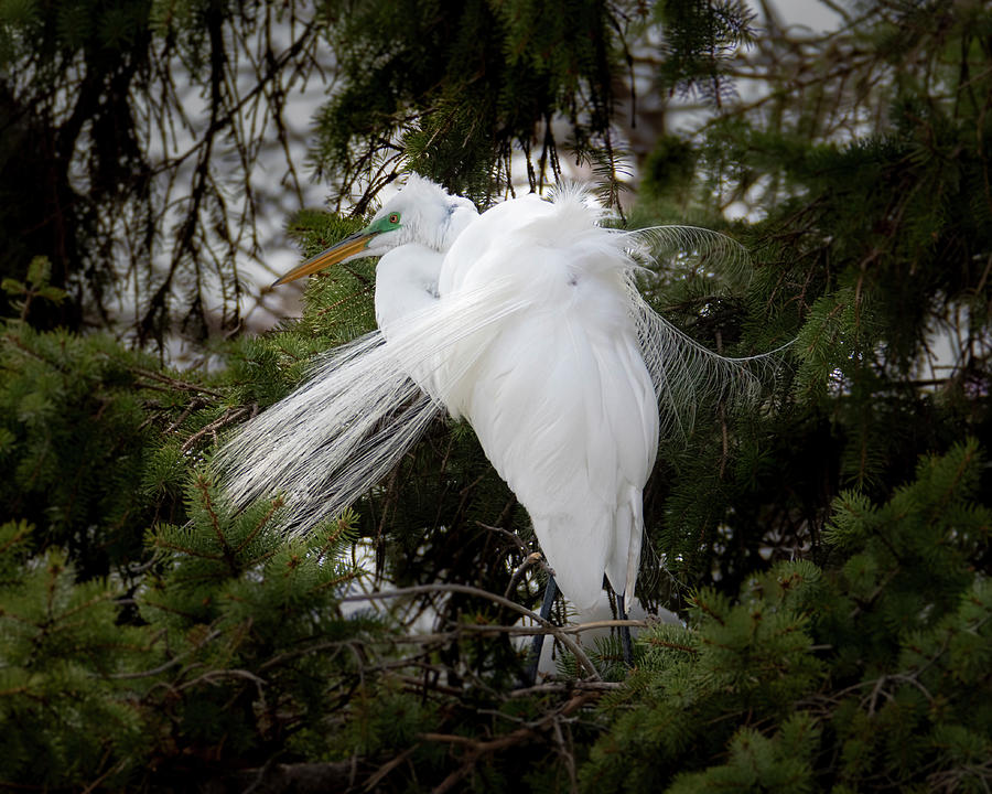 Great White Egret Breeding Plumage #2 by Patti Deters